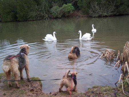 swansMTF