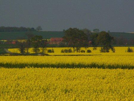 Golden Fields2