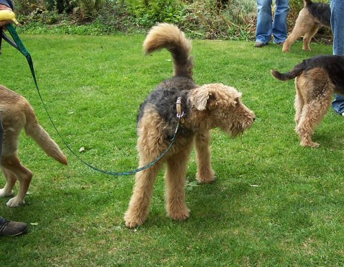 Airedale terrier tail